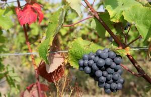 vignoble Vendôme Vallée du Loir, Loir et Cher, AOC Coteaux du Vendômois, vignes, vins, raisin