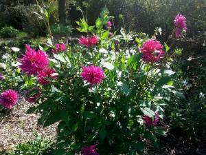 jardin de la Mardelle à Artins, Vallée du Loir, Pays de Vendôme, Pays de Ronsard, dalhias