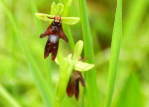 orchidées sauvages, Lavardin, Vallée du Loir, Pays de Vendôme, Ophrys mouche