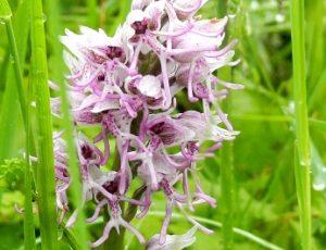 orchidées sauvages, Lavardin, Vallée du Loir, Pays de Vendôme, Orchidée singe