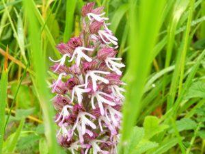 orchidées sauvages, Lavardin, Vallée du Loir, Pays de Vendôme, hybride de l'Orchidée singe et pourpre