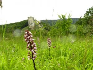 orchidées sauvages, Lavardin, Vallée du Loir, Pays de Vendôme, Orchidée pourpre, Orchis purpurea