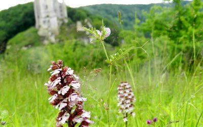 Des orchidées sauvages à Lavardin