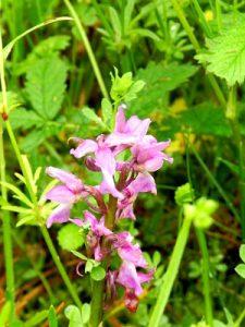 orchidées sauvages, Lavardin, Vallée du Loir, Pays de Vendôme, Orchidée bouffon
