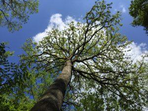 """arbre randonnée """"sur les pas de Rochambeau"""" Villiers sur Loir"""